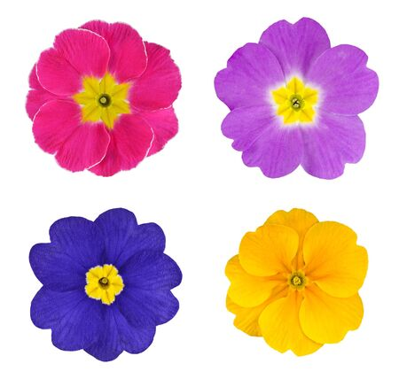 Four Colorful Primroses Flowers Isolated on White Background photo