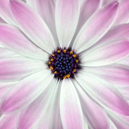 White and Pink Osteosperumum Flower Square Background. Macro Closeup Stock Photo - 9394623