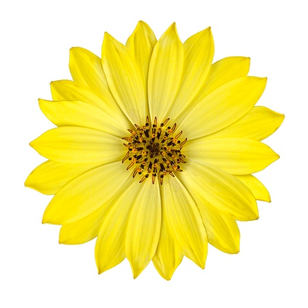 yellow stamens: Fresh Yellow Osteospermum Daisy Flower Isolated on White Background. Macro Closeup