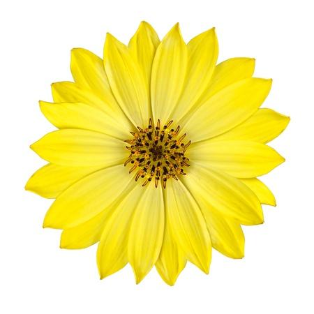 Verse gele Osteospermum Daisy Flower geïsoleerd op een witte achtergrond. Macro close-up Stockfoto