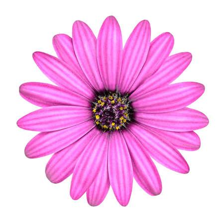 Violet Pink Osteosperumum Flower Daisy Isolated on White Background. Macro Closeup photo