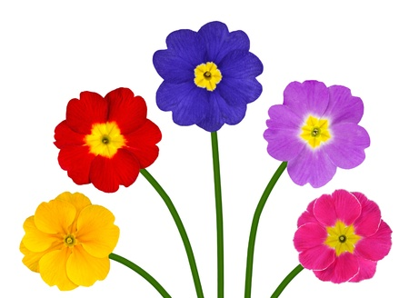 five petals: Bunch of Colorful Primroses on Green Sticks Isolated on White Background Stock Photo