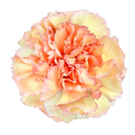 Pink Yellow Carnation Flower Isolated on White Background. Closeup on Clove-Pink Flower photo