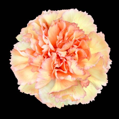 gilliflower: Pink Yellow Carnation Flower Isolated on Black Background. Closeup on Clove-Pink Flower