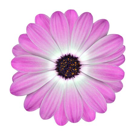 White and Pink Osteospermum Daisy or Cape Daisy Flower Flower Isolated over White Background. Macro Closeup photo
