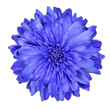 Single Deep Blue Chrysanthemum Flower Isolated over White Background. Beautiful Dahlia Flowerhead Macro