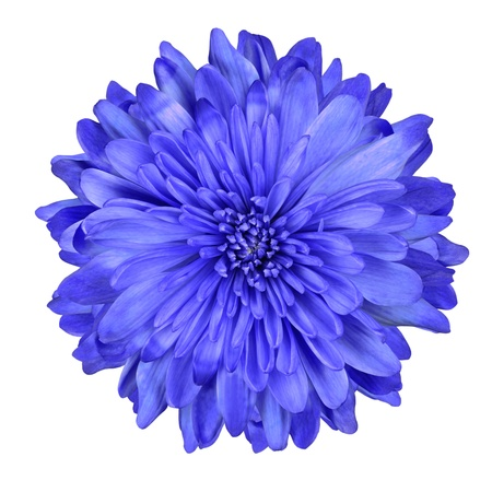 flowerhead: Single Deep Blue Chrysanthemum Flower Isolated over White Background. Beautiful Dahlia Flowerhead Macro