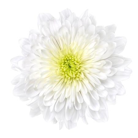 dalia: Flor de Crisantemo blanco solo con amarillo Centro aislado sobre fondo blanco. Hermosa Dahlia cabeza Macro Foto de archivo