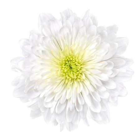 flowerhead: Single White Chrysanthemum Flower with Yellow Center Isolated over White Background. Beautiful Dahlia Flowerhead Macro