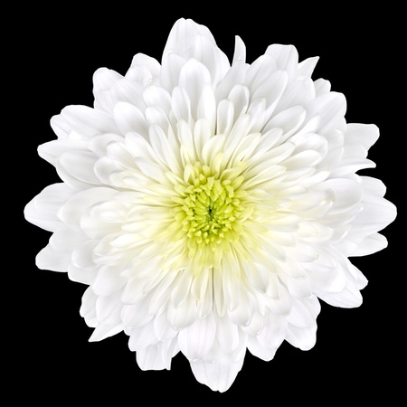 flowerhead: Single White Chrysanthemum Flower with Yellow Center Isolated over Black Background. Beautiful Dahlia Flowerhead Macro
