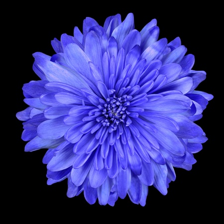 Single Deep Blue Chrysanthemum Flower Isolated over Black Background. Beautiful Dahlia Flowerhead Macro