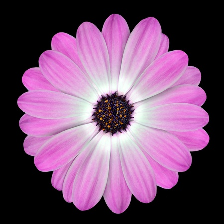 Pink Osteospermum Daisy or Cape Daisy Flower Isolated over Black Background. Macro Closeup photo