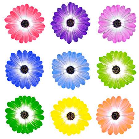 Various Colorful Daisy Flowers Osteospermum Isolated on White Background photo