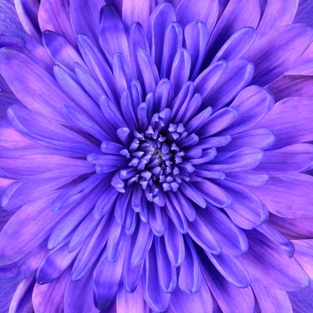 Detail of Blue Chrysanthemum Flower Head Closeup Background