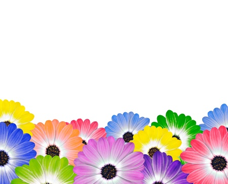 Row of Colorful Daisy Isolated on White Background  photo