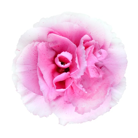 gilliflower: Pink  Carnation Flower Isolated on White Background. Closeup on Clove-Pink Flower Stock Photo