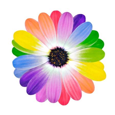 Arco iris de flores de múltiples pétalos de colores de flor de la margarita Aislado sobre fondo blanco. Gama de Colores Happy Multi. Foto de archivo