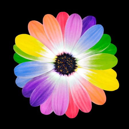 marguerite: Arc-en-ciel fleur Multi couleur pétales de la fleur de Daisy isolées sur fond blanc. Gamme de couleurs de Multi heureux. Banque d'images