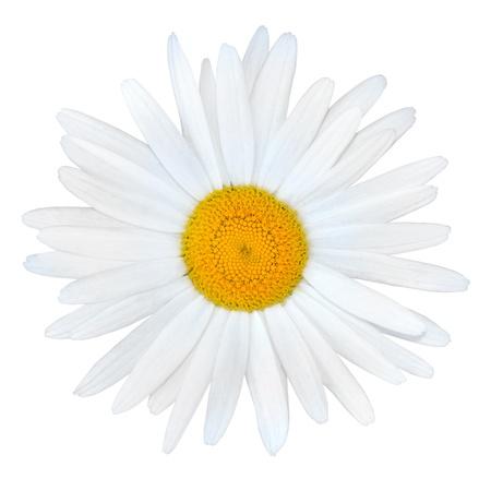 matricaria recutita: Bianchi Margherita con centro giallo isolato su sfondo bianco Archivio Fotografico