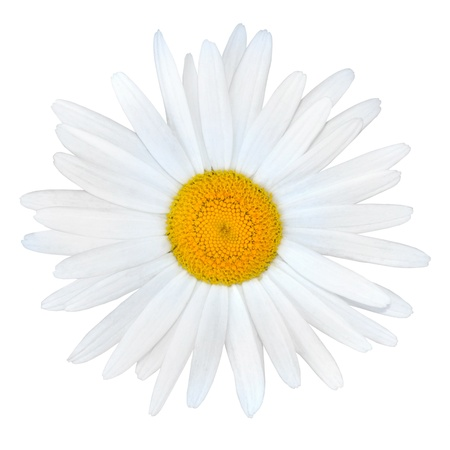 matricaria recutita: White Daisy with Yellow Center Isolated on White Background Stock Photo
