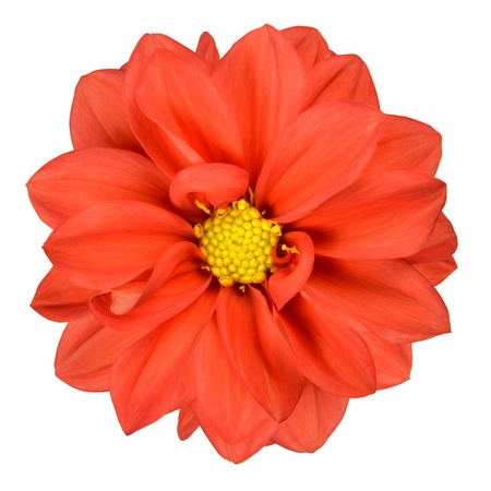 Fresh Orange Dahlia with Yellow Center Isolated on White Background