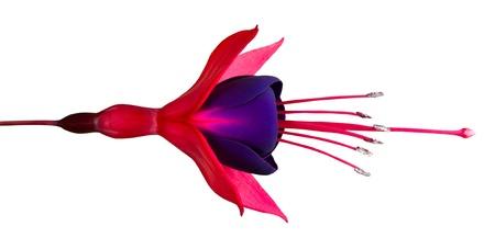 fuchsia flower: Beautiful Fuchsia Flower Isolated on White - Horizontal Composition