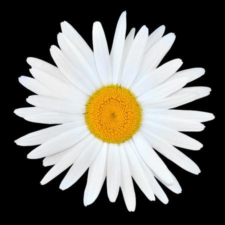 matricaria recutita: Fiore bianco di Daisy camomilla con centro giallo isolato su sfondo bianco