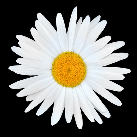 White Chamomile Daisy Flower with Yellow Center Isolated on White Background