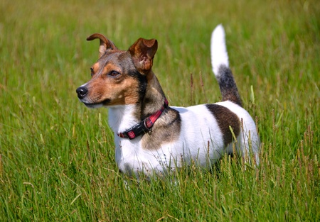 discovering: Cute Litte Tricolored Jack Russell Terrier Standing in the grass field staring