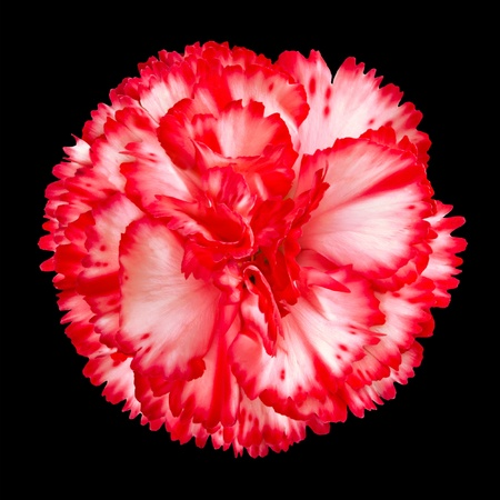One Red and White Gilly Flower Head Isolated on Black Background. Isolated Carnation Flower
