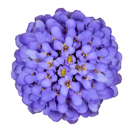 perennial: Isolated Deep Blue Iberis Flower Head - Thymus Serpyll Isolated on Black Background