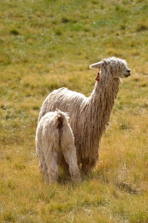 Two White Lamas - Mother Lama with a Baby on a grass photo