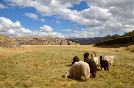 Group of Lamas with Sacsayhuaman ruins in the background photo