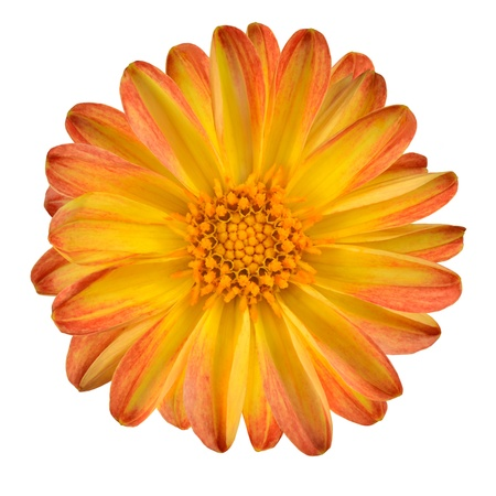 Dahlia Flower with Orange Yellow Petals Isolated on White Background