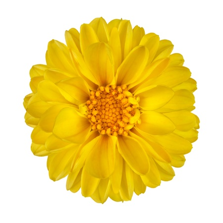 Yellow Dahlia Flower with Yellow Center Isolated on White Background
