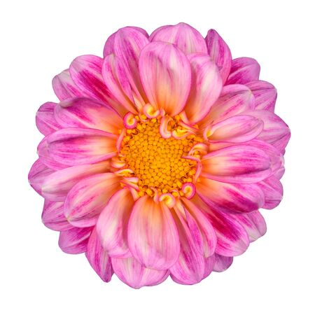Dahlia Flower with Pink White Petals and Yellow Center Isolated on White Background photo