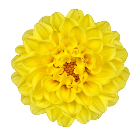 Dahlia Flower - Yellow Petals with Yellow Center Isolated on White Background Stock Photo
