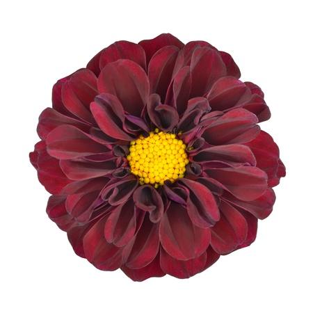 Dahlia rouge fleur avec un centre jaune isolé sur fond blanc Banque d'images - 11690627