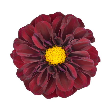 Red Dahlia Flower with Yellow Center Isolated on White Background