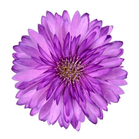 Fleures: Bleuet comme Flower rose et pourpre isolé sur fond blanc