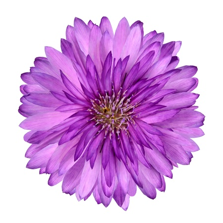 violet flower: Cornflower like Pink and Purple Flower Isolated on White Background