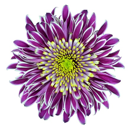 blooming: Chrysanthemum Flower Purple with Lime Green White Center Isolated on White Background