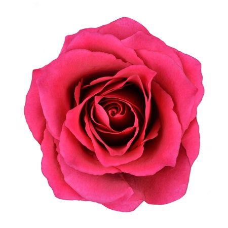 Red Rose Flower Isolated on White Background. Top View on Beautiful Red Rose Flower photo