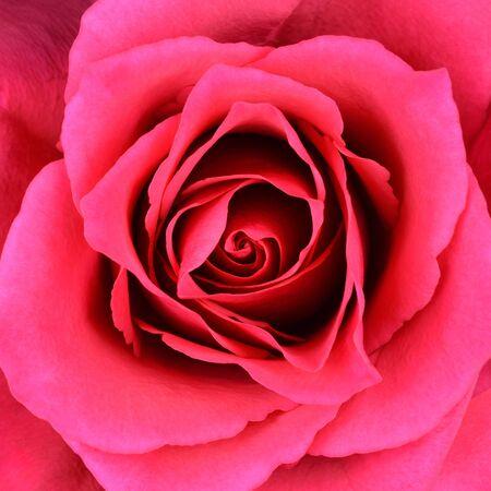 flowerhead: Closeup on Center of Beautiful Red Rose. Perfect Macro on Beautiful Big Rose Flowerhead Stock Photo