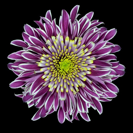 georgina: Purple Chrysanthemum Flower  with Lime Green White Center Isolated on White Background Stock Photo