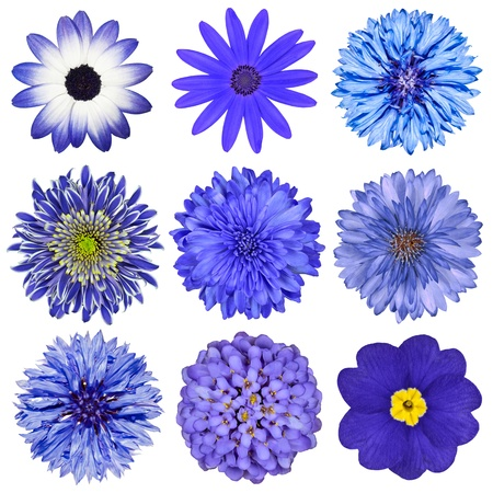 Various Blue Flowers Selection Isolated on White Background. Daisy, Chrystanthemum, Cornflower, Dahlia, Iberis, Primrose