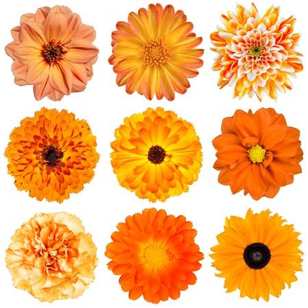 Selection of Various Orange Flowers Isolated on White Background. Dahlia, Daisy, Chrysanthemum, Pot Marigold, Carnation
