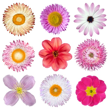 Various Pink, Red, White Flowers Isolated on White Background. Selection of Strawflower, Clematis, Daisy, Dahlia, Primrose, English Daisy