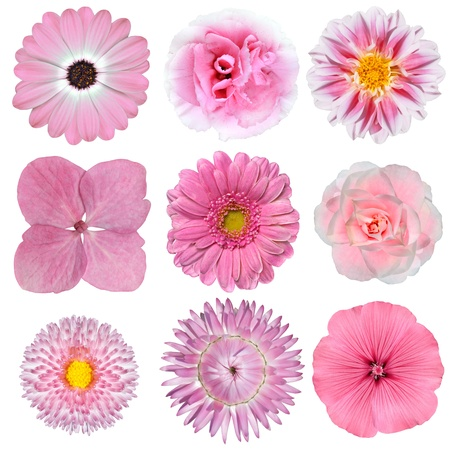 Collection of Pink White Flowers Isolated on White Background. Selection of Daisy, Carnation, Chrysanthemum, Hydrangea, Gerber, Rose, Strawflower, Petunia photo