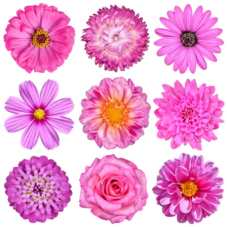 chrysanthemums: Selection of Pink White Flowers Isolated on White. Nine Flowers - Daisy, Strawflower, Zinnia, Cosmea, Chrysanthemum, Iberis, Rose, Dahlia